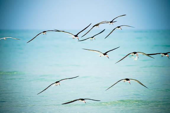 Anna Maria Island Shorebirds Restore Paradise!
