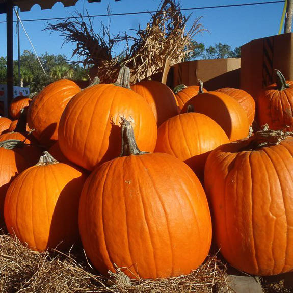 The Pumpkin Festival at Fruitville Grove. Remember to purchase a pumpkin before you leave!