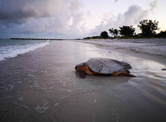 Sea Turtles on Anna Maria Island, FL Have Stories To Tell! (and Lessons To Teach!)