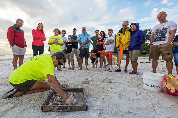 Volunteers help the Loggerhead turtle population on Anna Maria Island, FL