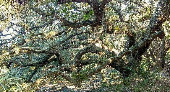 Giant old oaks on the Live Long Trail in Carlton Reserve, Sarasota County, FL.