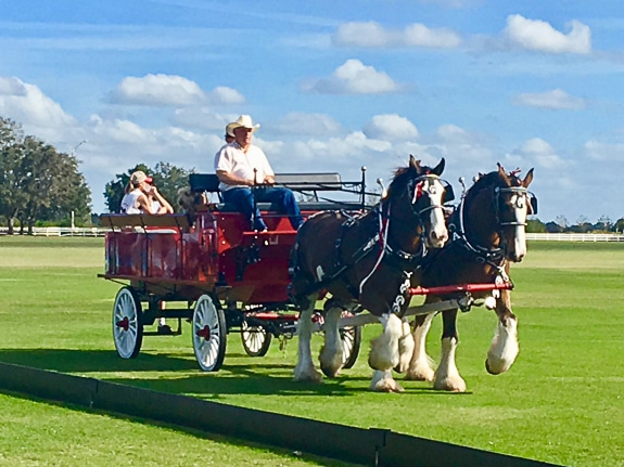 The famous Clydesdale horses take the field on the Sarasota Polo fields.