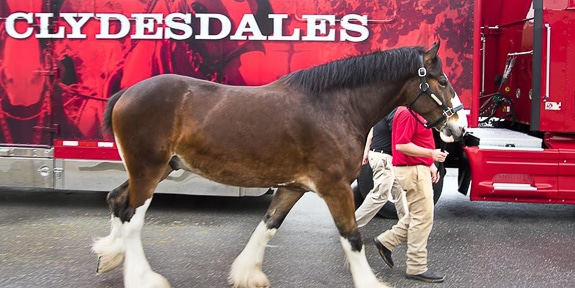 Meet the Budweiser Clydesdales Picnic at the Sarasota Polo Club in Sarasota, FL
