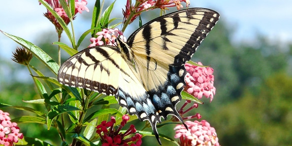 Attracting Butterflies and More to your Florida-Friendly Landscape by UF/IFAS Extension Sarasota County