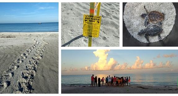 Free Public Turtle Walks with Mote Marine on Longboat Key, FL