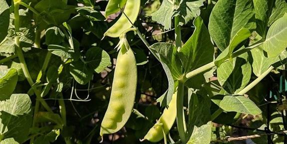 Edible Gardening Basics at UF IFAS Extension Sarasota County