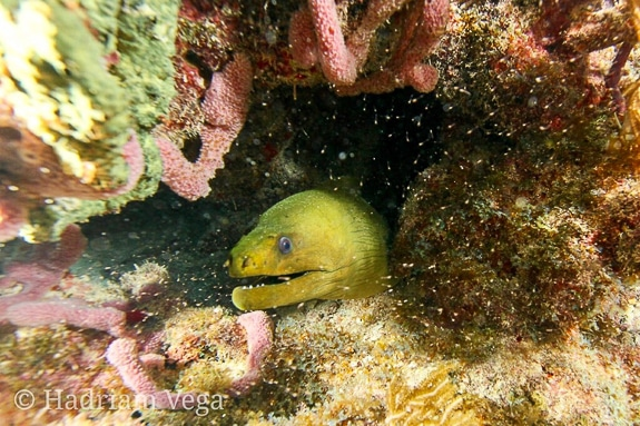 An eel peeks out from a rock.