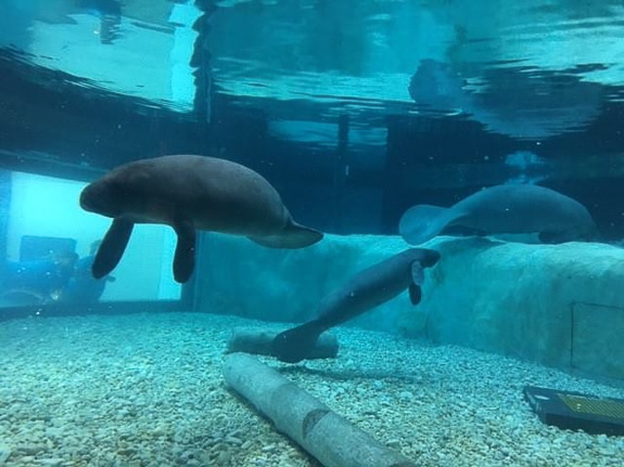 The Manatee Rehabilitation tank at the Bishop Museum in Bradenton, FL