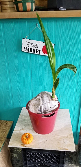 A coconut with a tree growing is on display at Thompson's in Cortez, Fl