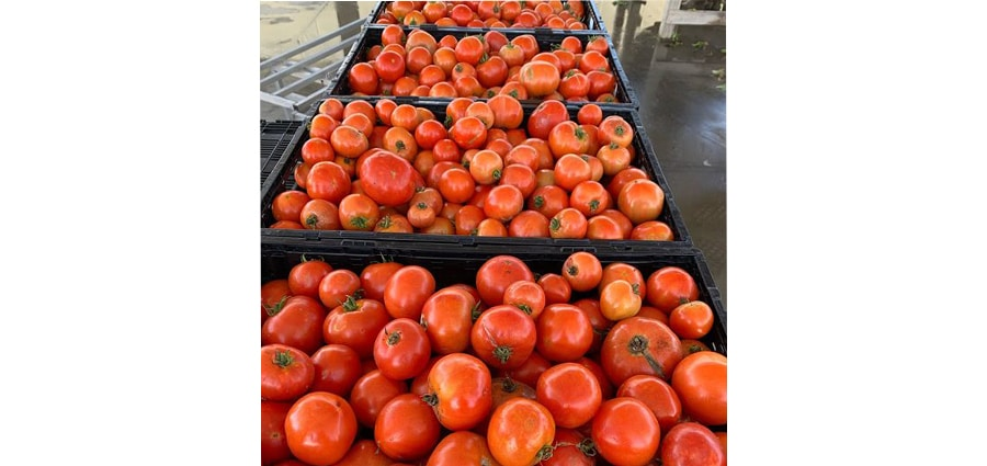 Tomatoes from The Homestead Hydroponic Farm