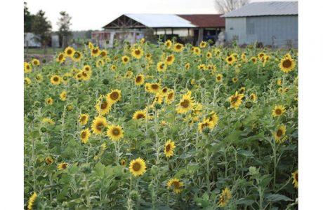 sunflowers at hunsader farms