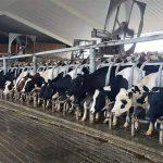 dakin dairy farms cows